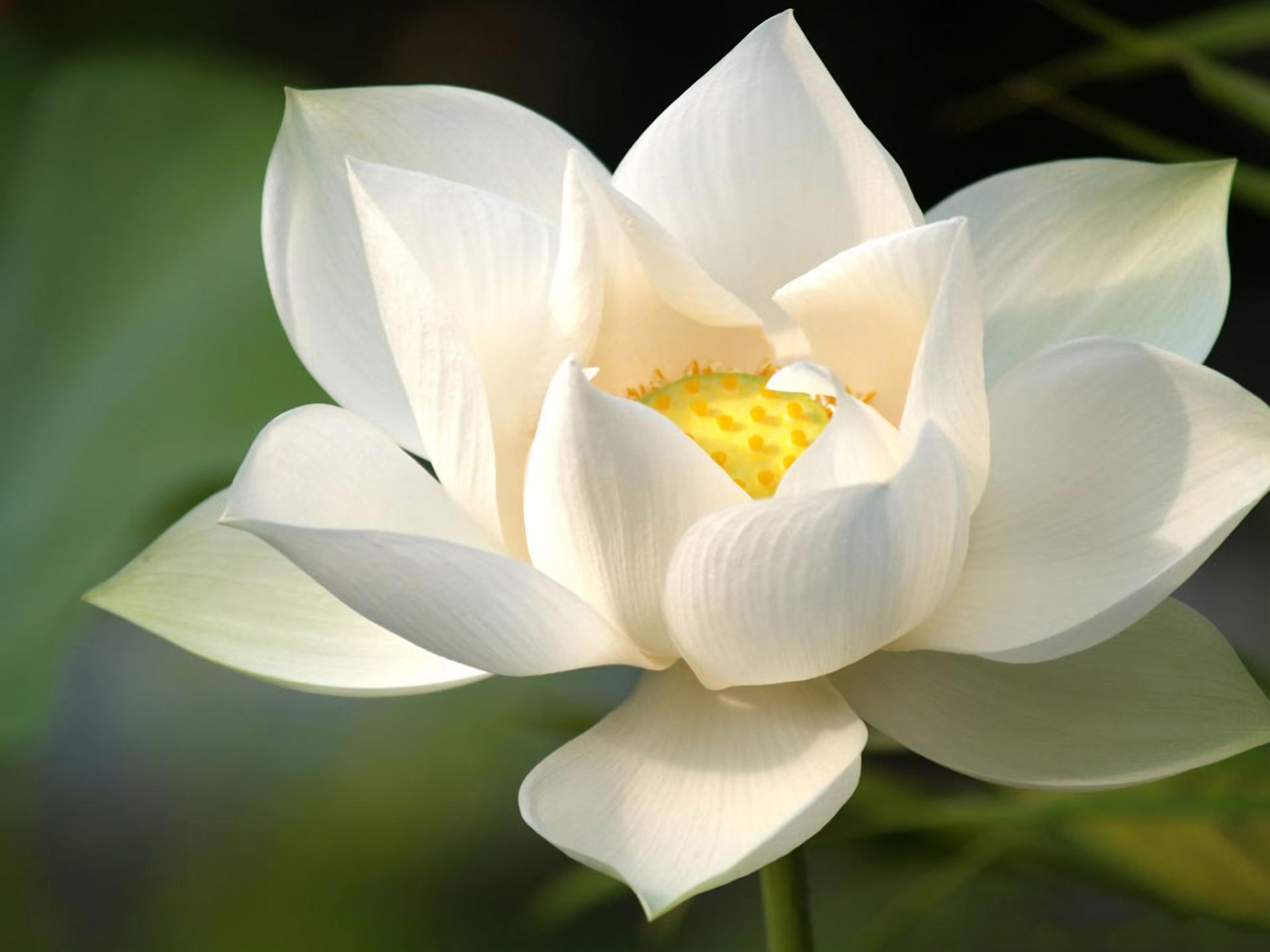 White Lotus Hd Wallpaper Background Image 1920x1440 Id899963