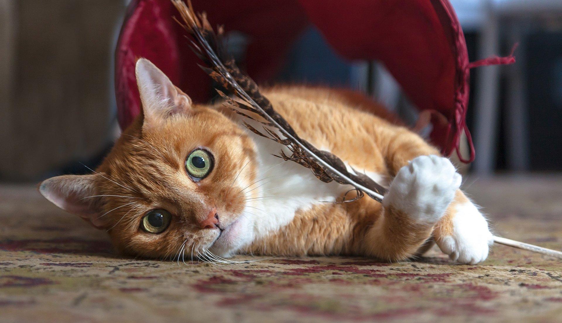 Animali - Gatto  Pet Sfondo
