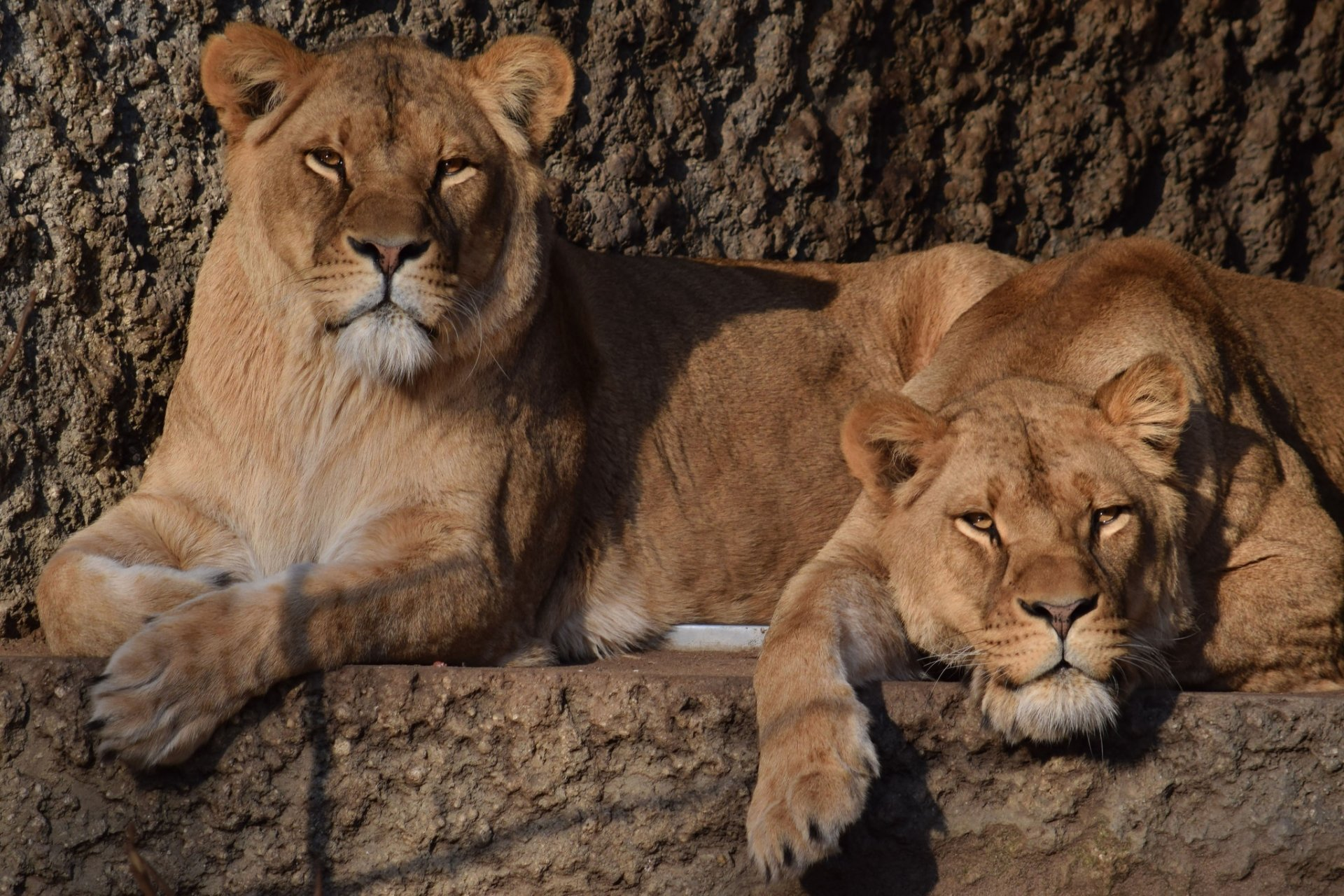 Animal - Lion  Big Cat Wildlife predator (Animal) Wallpaper