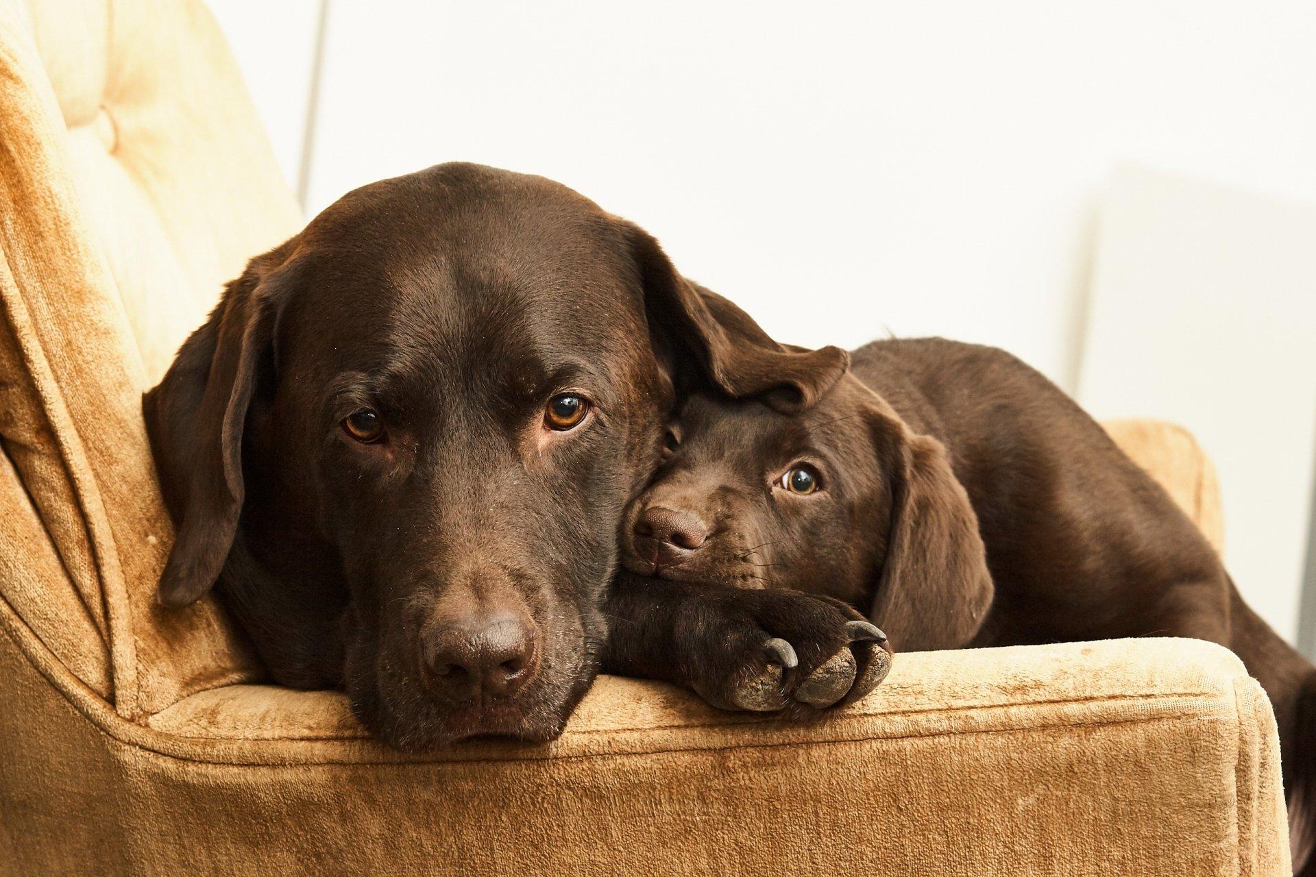 Animal - Labrador  Dog Pet Baby Animal Puppy Wallpaper