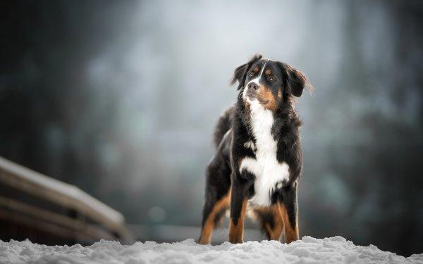 Animal Sennenhund Dogs Dog Pet Depth Of Field HD Wallpaper | Background Image