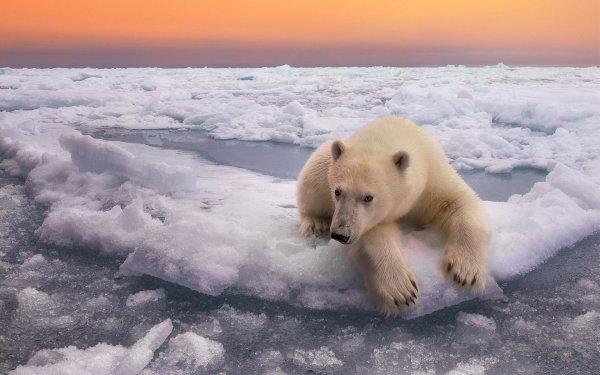 Animal Polar Bear Bears Polar  Bear Wildlife Ice Horizon predator HD Wallpaper | Background Image
