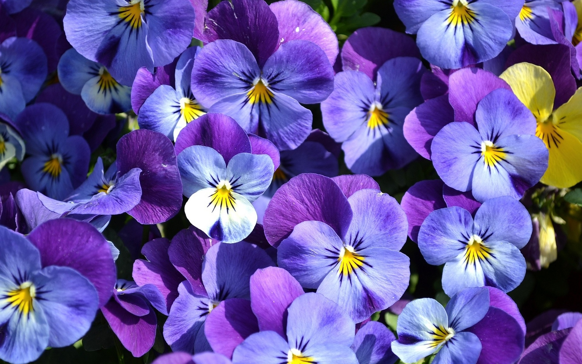 Обои цветы, анютины глазки. Цветы foto 6