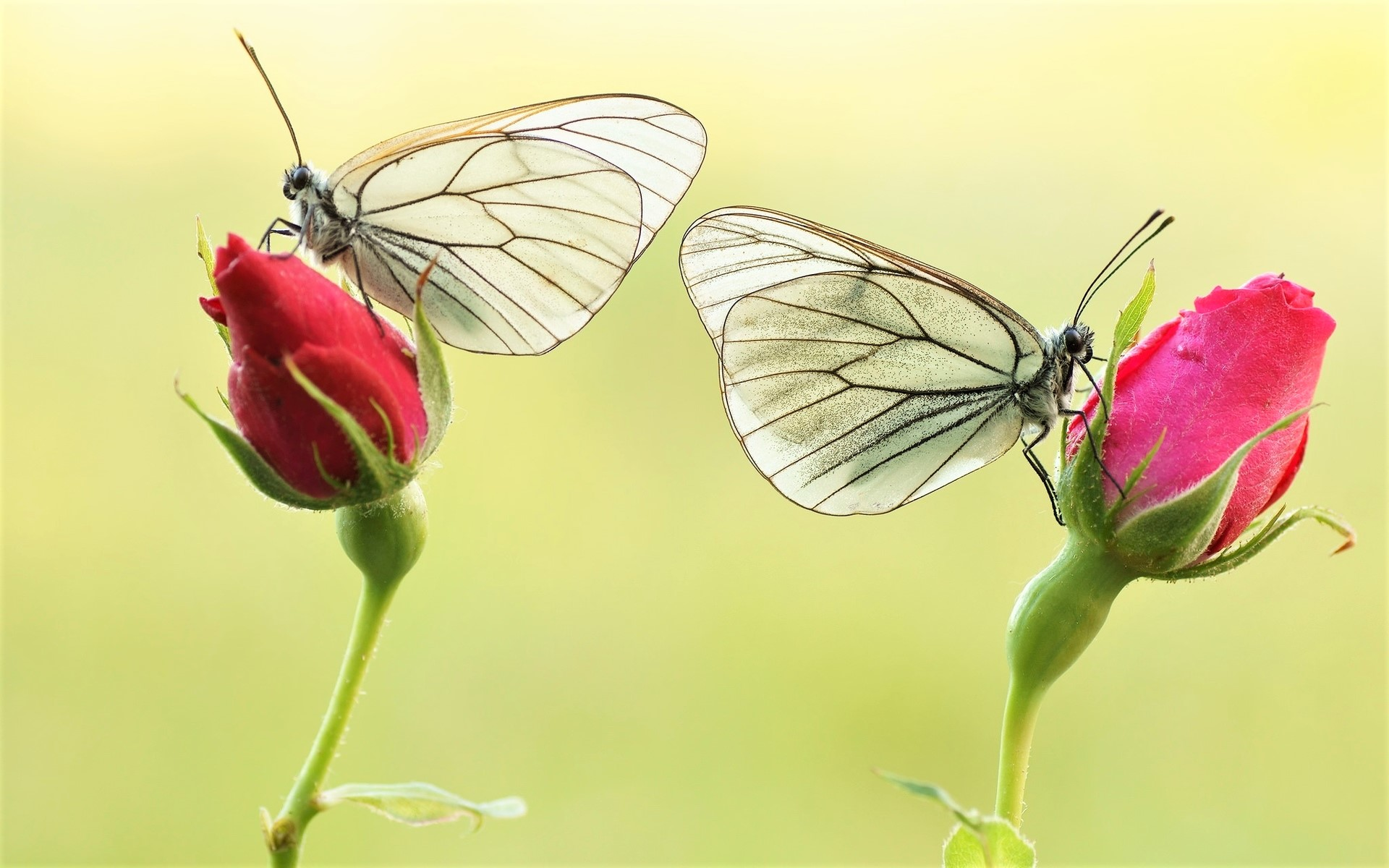 White Butterflies on Pink Roses HD Wallpaper | Background ...