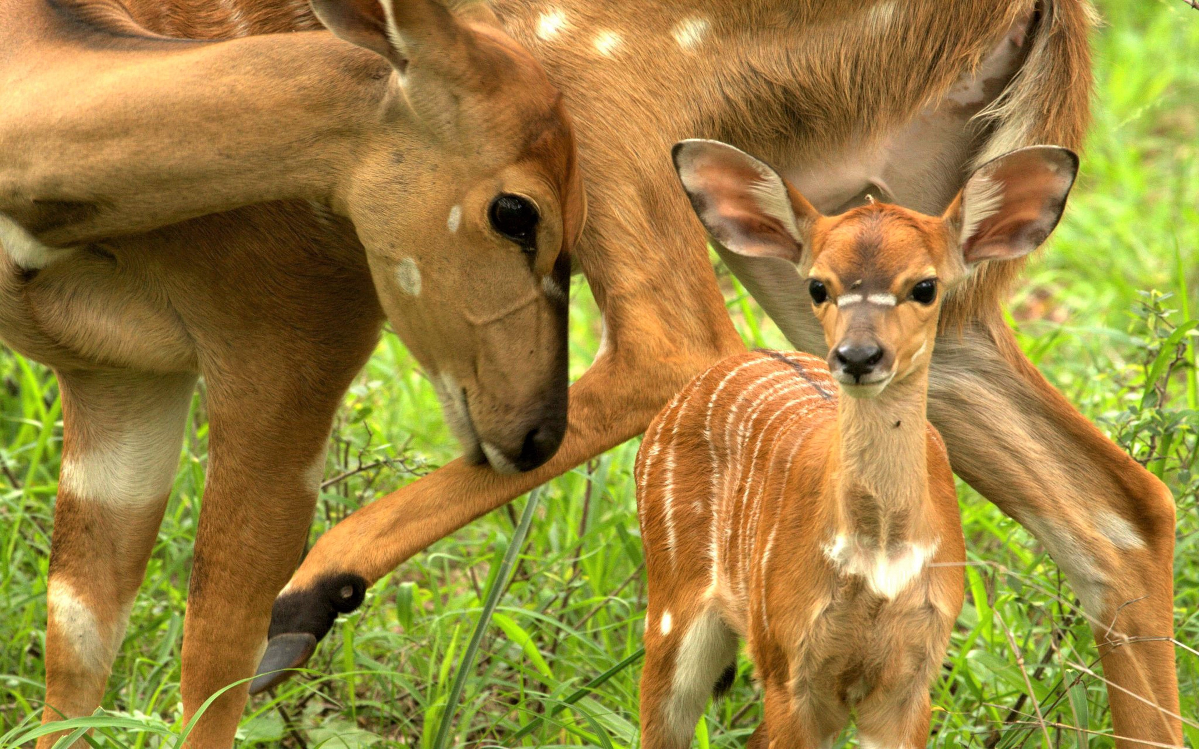 mother deer and her fawn 4k ultra hd wallpaper and