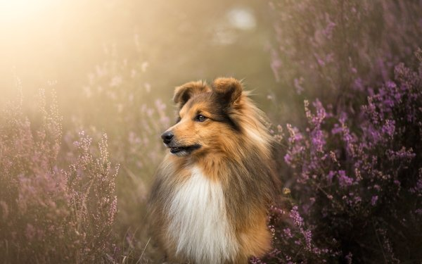 Animal Shetland Sheepdog Dogs Dog Pet Flower HD Wallpaper   Background Image