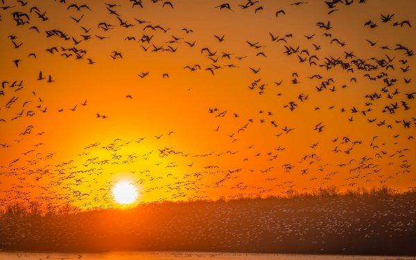 Animal Bird Birds Wildlife Sunrise Flock Of Birds HD Wallpaper | Background Image