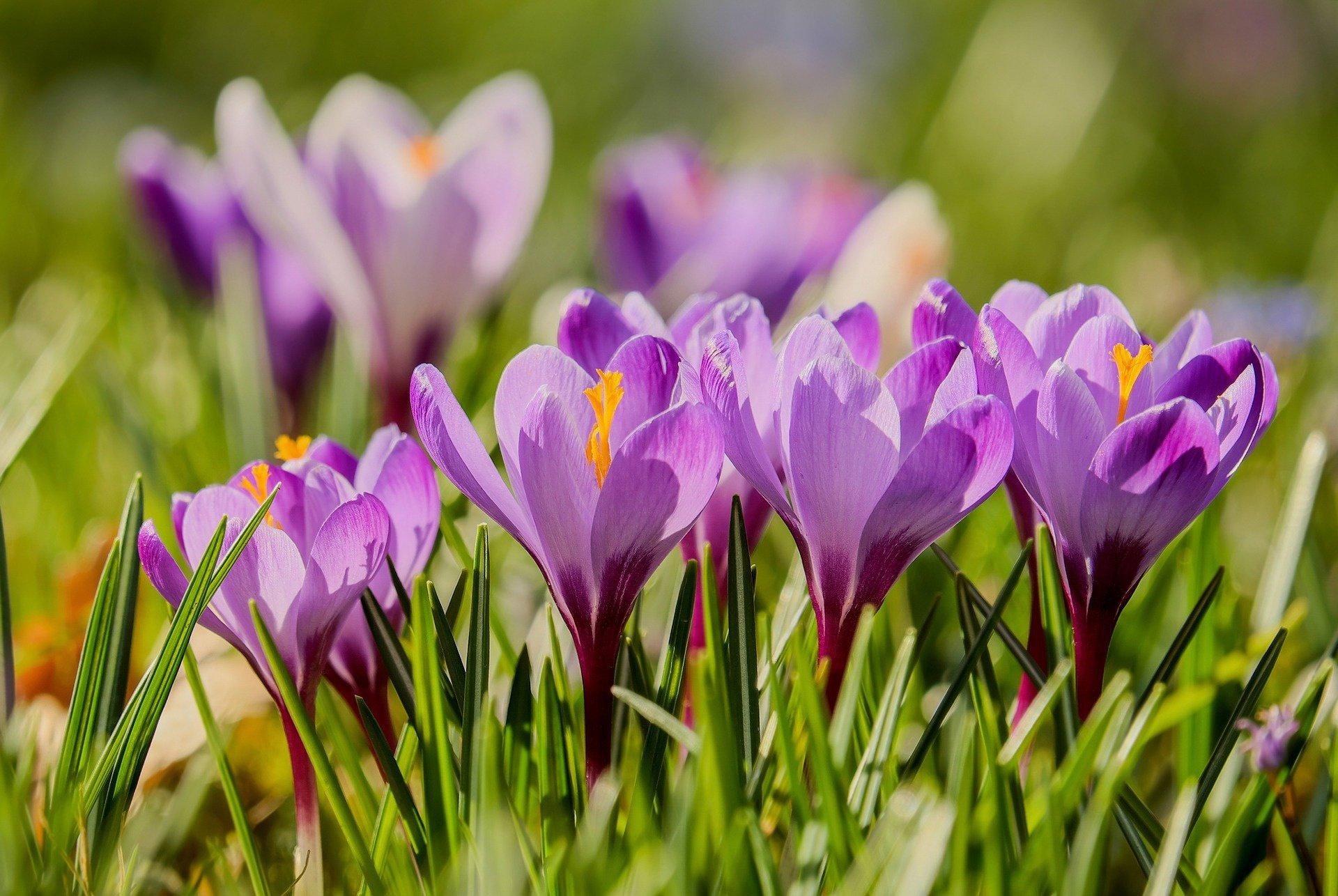 自然 - 番红花  大自然 花 Purple Flower 微距 壁纸