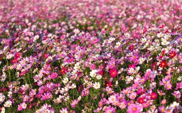 Earth Cosmos Flowers Flower Field Pink Flower White Flower HD Wallpaper   Background Image
