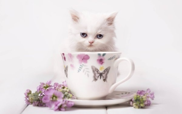 Animal Cat Cats Pet Cup Stare HD Wallpaper | Background Image