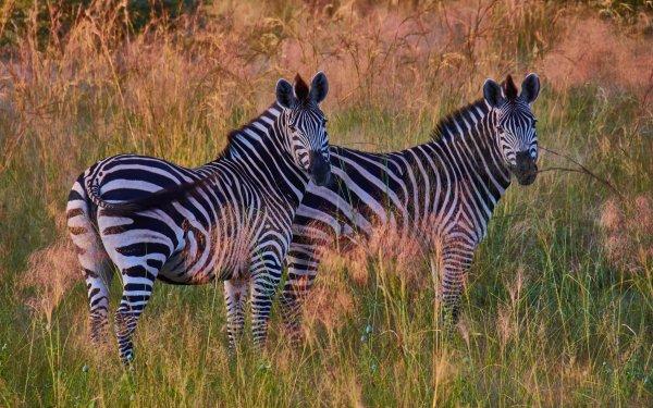 Animal Zebra Wildlife HD Wallpaper   Background Image