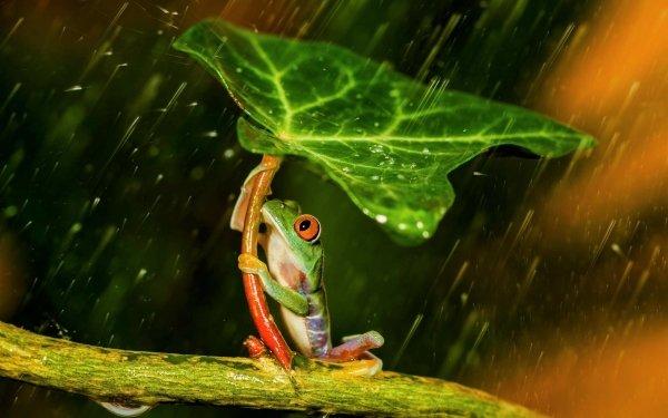 Animal Red Eyed Tree Frog Frogs Frog Tree Frog Leaf Rain HD Wallpaper | Background Image