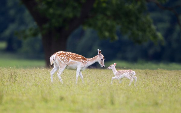 Animal Deer Doe Fawn Playing Baby Animal HD Wallpaper | Background Image