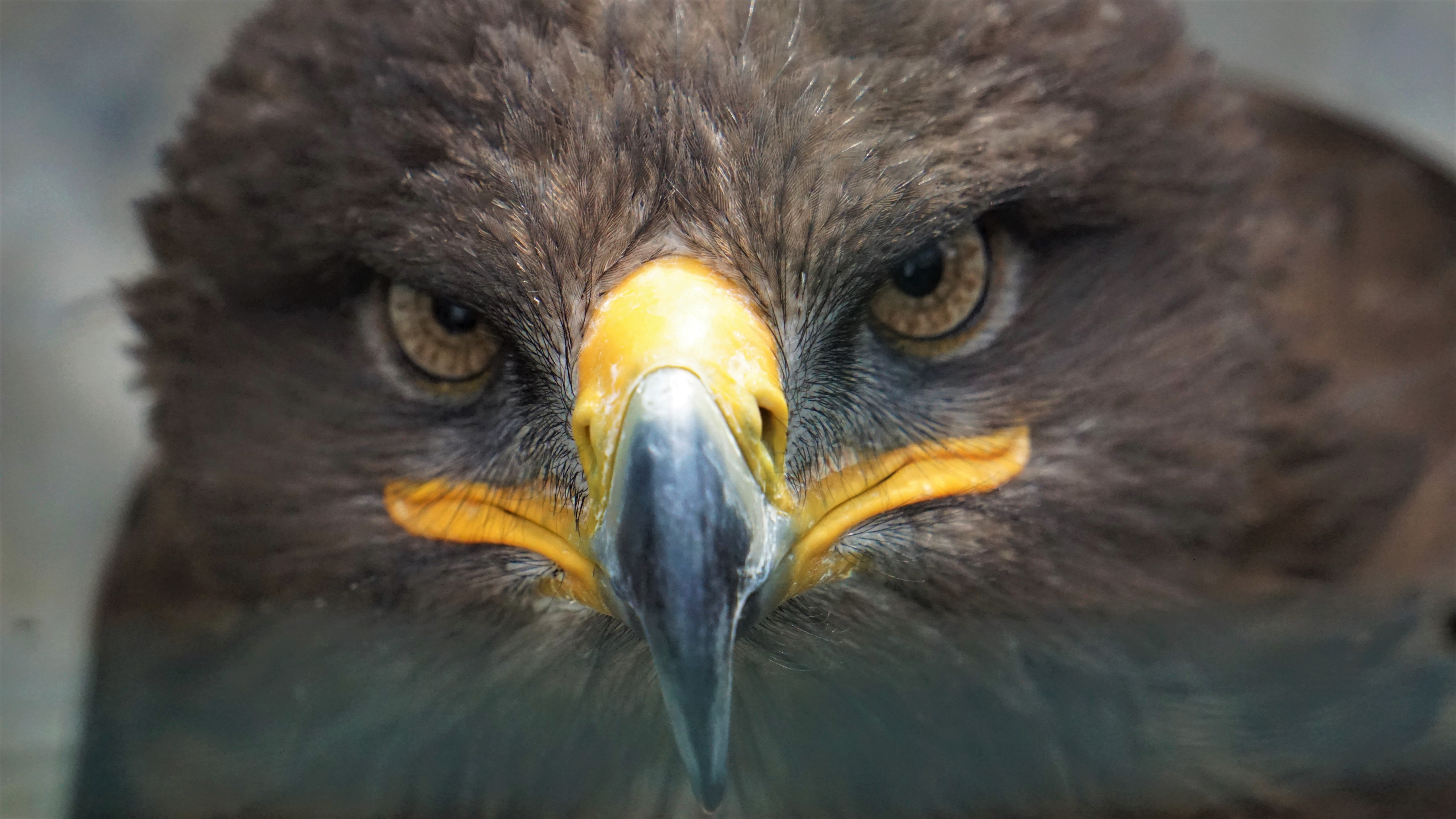 Golden Eagle 5k Retina Ultra HD Wallpaper | Background ...