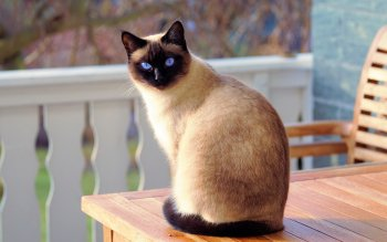 17 Siamese Cat Hd Wallpapers Background Images Wallpaper Abyss