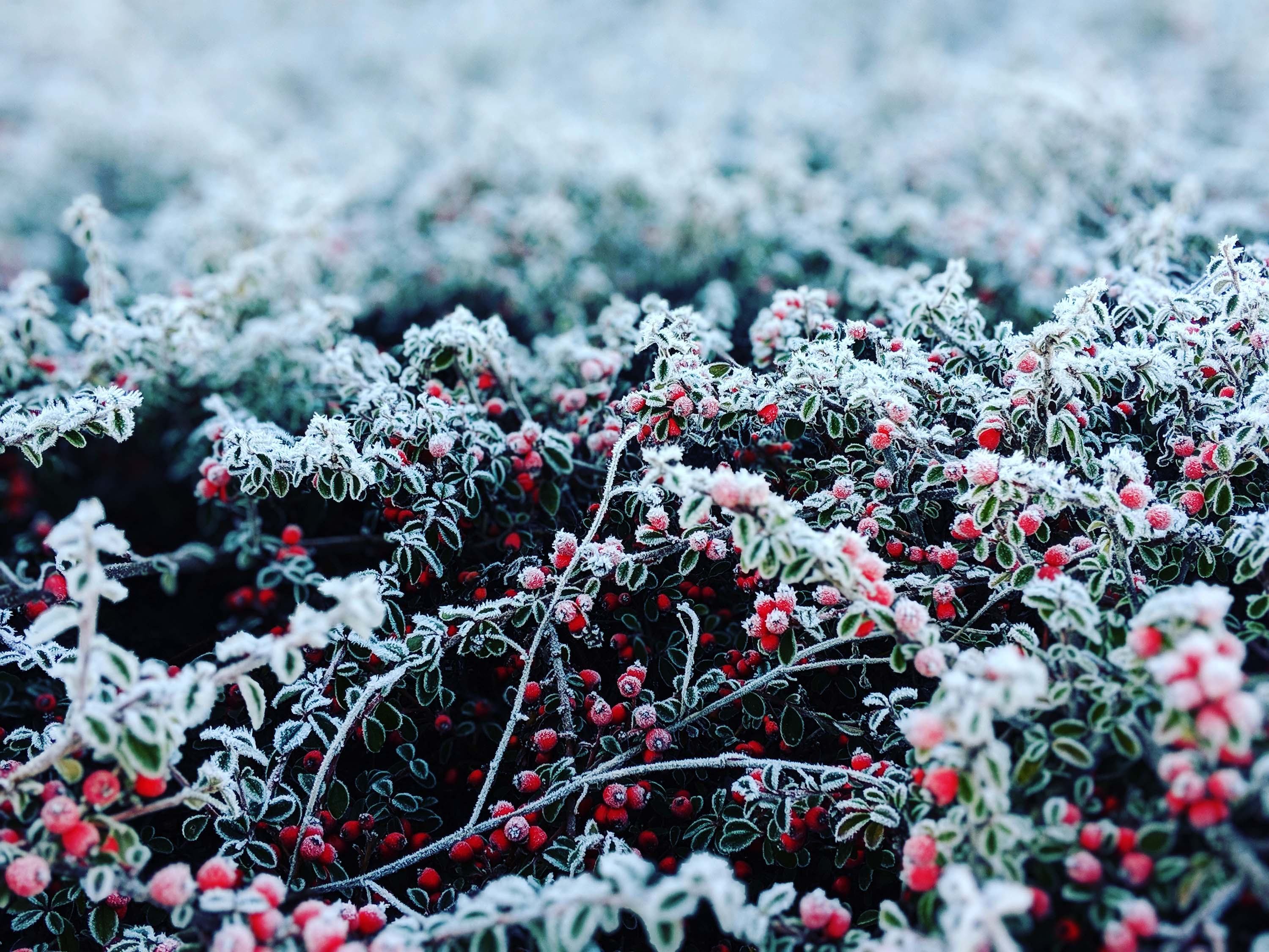 Winter Frost on Branches of Berries