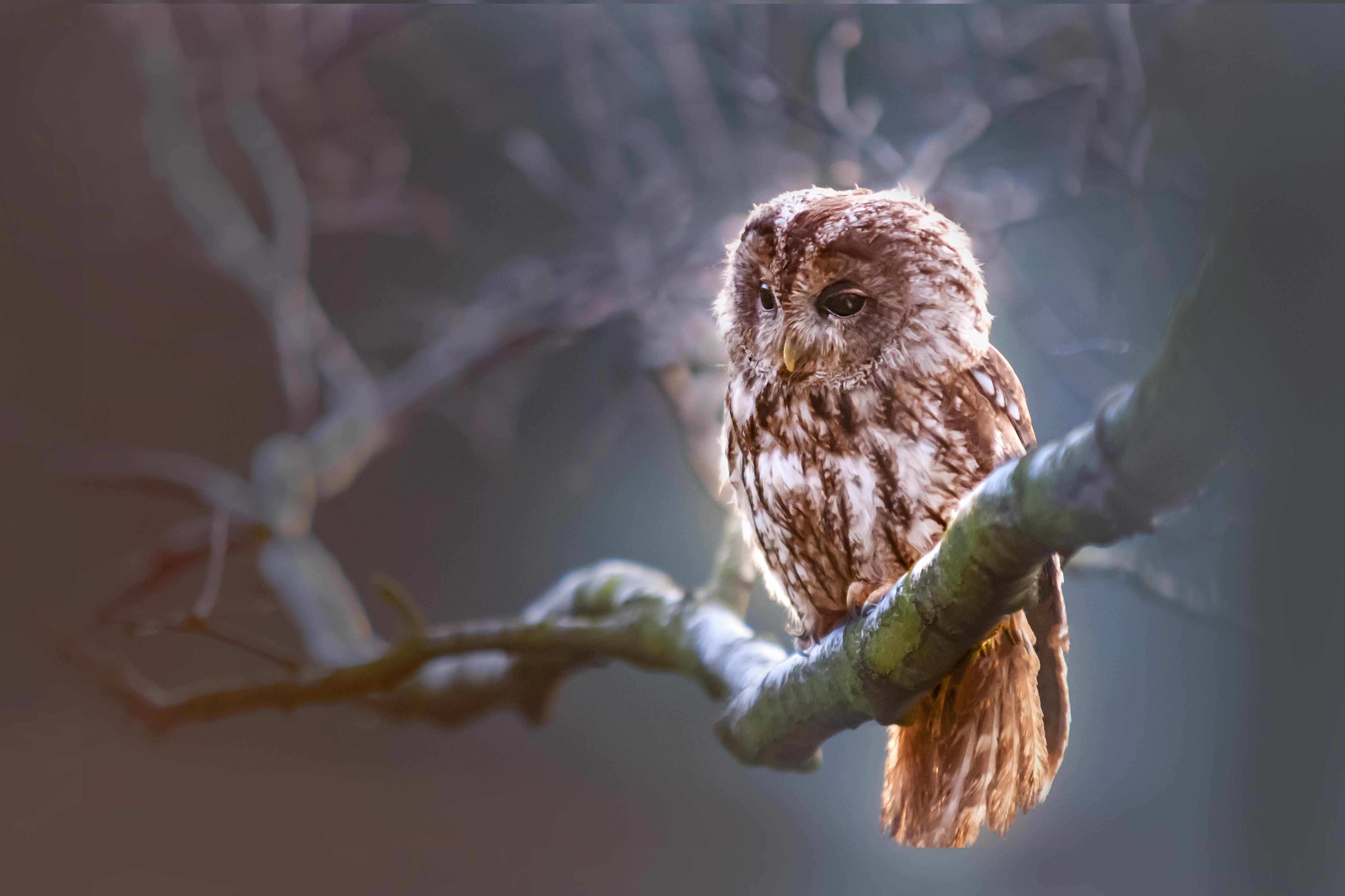 Owl 4k Ultra HD Wallpaper   Background Image   4365x2910 ...